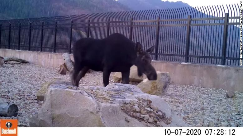 'It's working!': Utah officials thrilled to see animals using highway wildlife overpass
