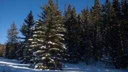 National forests will let you cut your own Christmas tree