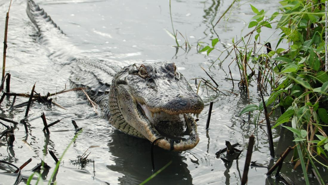 Alligators can regrow their tails, new study finds