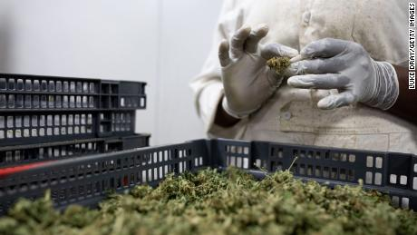 A factory worker processes cannabis flowers to make them ready for export on November 10 in Kasese, Uganda.