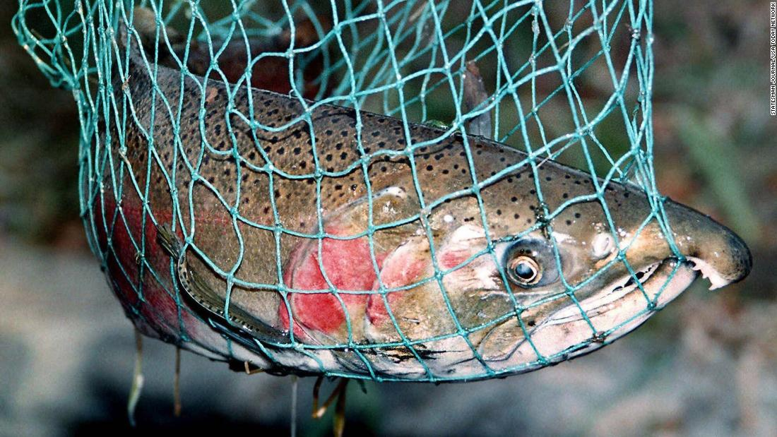 Mass die-offs have killed West Coast salmon for years. Scientists now think they know why