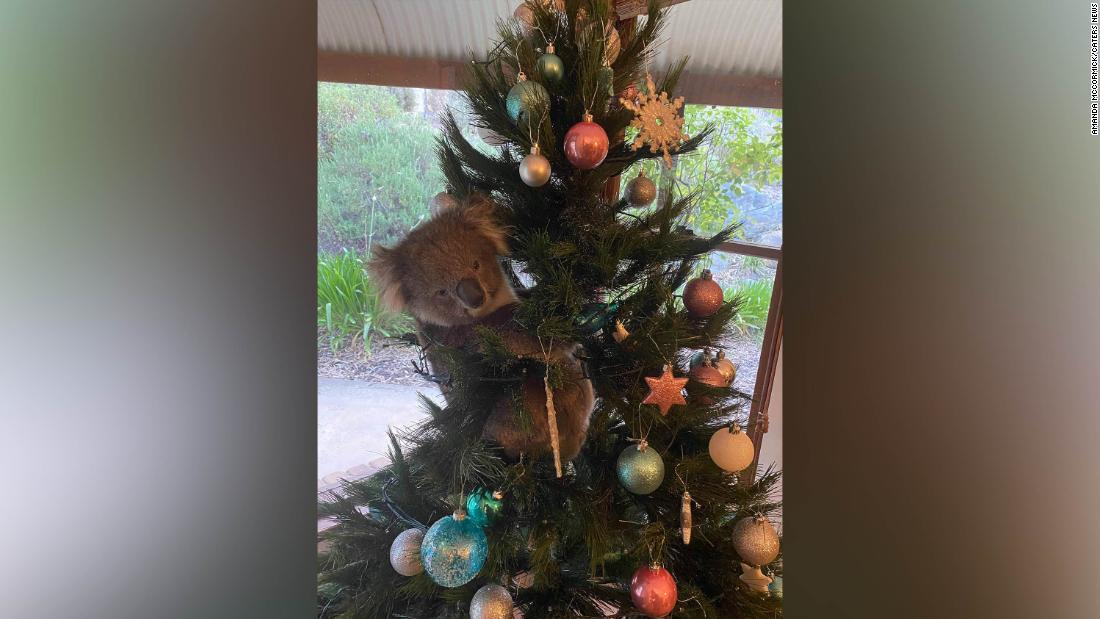 Curious koala sneaks into Australian home and climbs Christmas tree