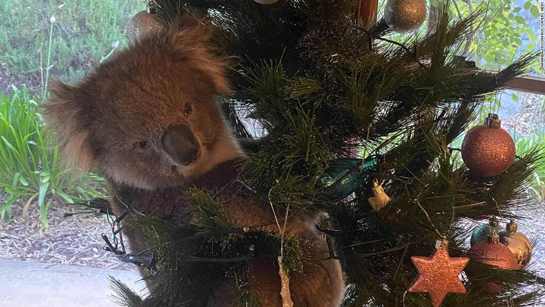 Curious koala sneaks into Australian home and climbs Christmas tree – CNN