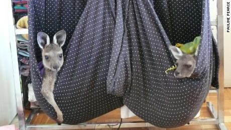 "Two kangaroo joeys in homemade ""pouches,"" in Pearce's home in Western Australia."