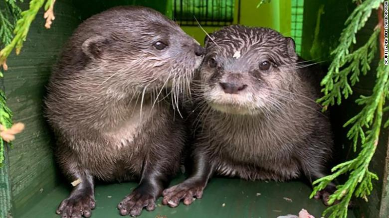 These lonely otters found love in lockdown just in time for the holidays