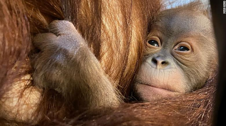 Critically endangered Sumatran orangutan born at Belgian animal park