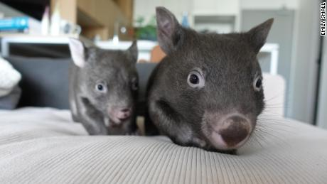 Two of the four wombats that lived with Emily Small in her Melbourne apartment during lockdown.