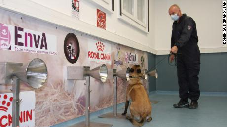 A trained dog takes part in a Covid-19 sniffing test.