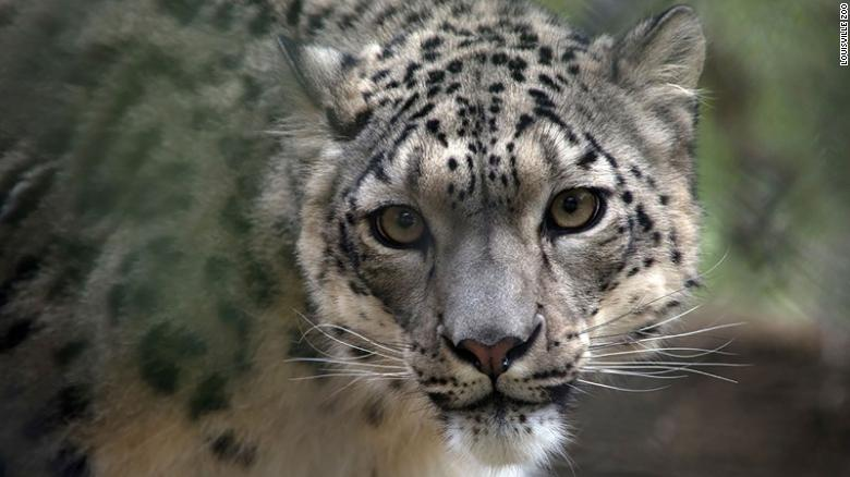 A snow leopard has tested positive for coronavirus, making it the sixth confirmed animal species