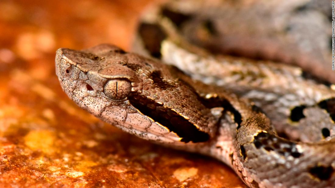 "Scientists have discovered 20 new species in the Zongo Valley of the Bolivian Andes. Poised in striking mode is a new species of pit viper named ""mountain fer-de-lance,"" which has large fangs and heat-sensing pits on its head to help detect prey."