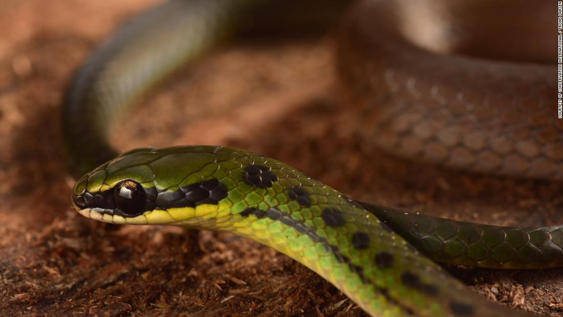 The Bolivian flag snake earned its name from its striking red, yellow and green colors. It was discovered in dense undergrowth forest at the highest part of the mountain the team surveyed.