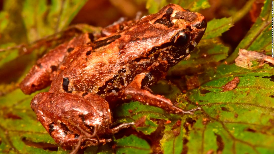 The Lilliputian frog is a minuscule 1 centimeter in length and is camouflaged by its brown color, which helps it to hide in thick layers of moss and soil.