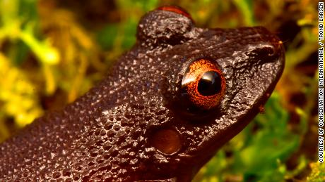 "As well as identifying new species, the team rediscovered four species thought to be extinct including the mesmeric ""devil-eyed frog"" which was last sighted 20 years ago before a hydroelectric dam was built in its habitat. After numerous attempts to find the frog it was assumed the species no longer existed."