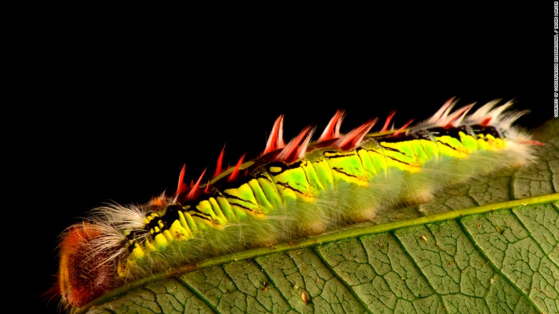 In the cloud forest of Zongo Valley, a caterpillar from a Morpho butterfly feeds on bamboo. Morpho butterflies are highly sought after due to their bright blue color.