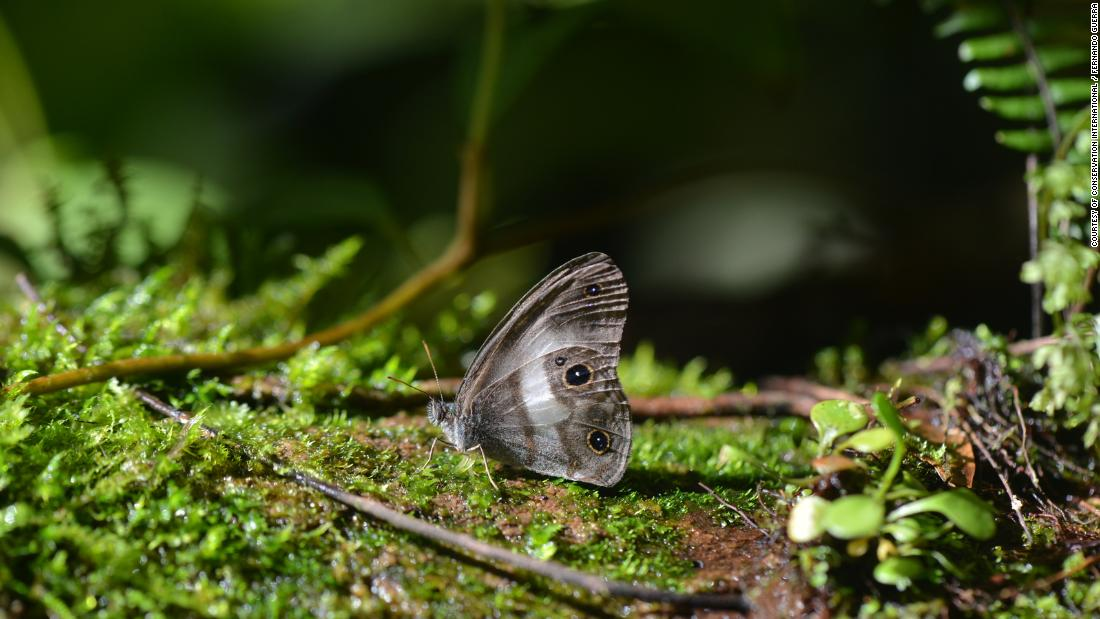 The satyr butterfly was last seen 98 years ago and was rediscovered in the Zongo Valley's undergrowth, caught in a mesh trap containing its food source of rotten fruit. It is only known to live in the Zongo Valley.