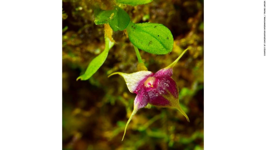 Cup orchids have vibrant and distinct purple and yellow coloring. This new species was discovered in Zongo but is part of a group of species found throughout much of Central and South America.