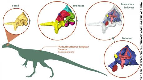 Using CT scans of the braincase fossil, researchers generated and studied 3D models of the braincase (the part of the skull containing the brain and associated organs) and the endocast (the space inside the braincase containing the brain). This diagram shows how the 3D models of the fossil, the braincase and the endocast are related to each other.