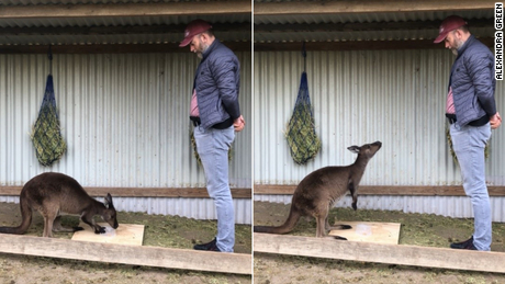 Researchers found that the kangaroos intentionally communicated with humans.