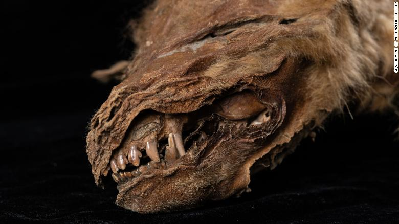 Ancient wolf cub found 'perfectly preserved' in Canadian permafrost. We even know what it ate