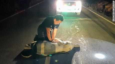 Un secouriste thaïlandais a donné la RCR à un bébé éléphant après avoir été heurté par une moto.  Survécu