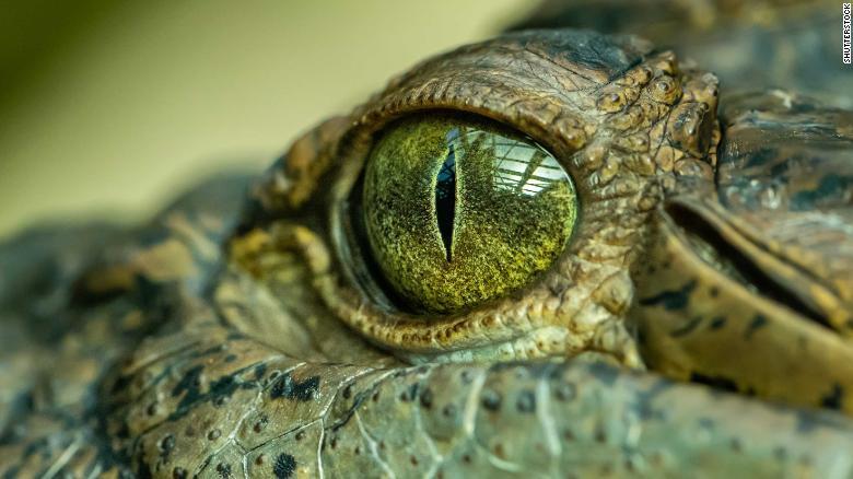 'Swamp king' prehistoric crocodile identified in Australia