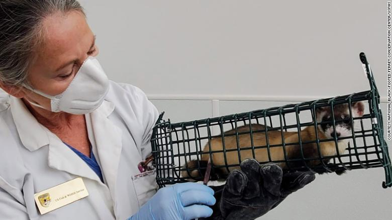 Highly endangered black-footed ferrets get experimental Covid-19 vaccine