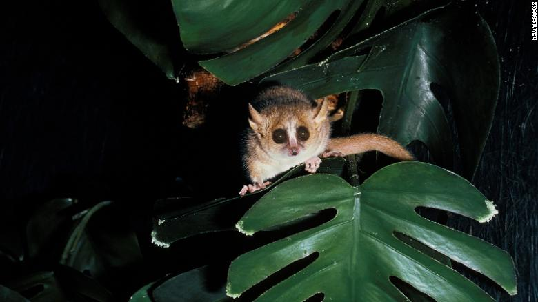 Hibernating primates like this tiny lemur could unlock cryogenic sleep for deep space missions