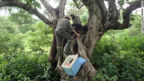 (From left) Noah Rose, a postdoctoral researcher at Princeton, and Gilbert Bianquinche survey a tree hole near Kedougou, Senegal, for Aedes aegypti larvae. More than half of the world's population lives in areas where Aedes aegypti mosquitoes are present.