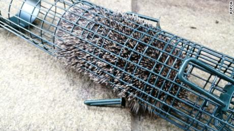 A hungry hedgehog crawled inside a discarded bird feeder in search of food and got stuck.