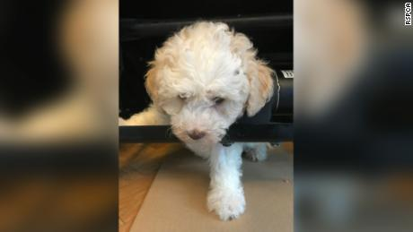 An eight-week-old cockapoo crawled under the recliner and got his fur caught. The RSPCA freed him with the help of the local fire department.