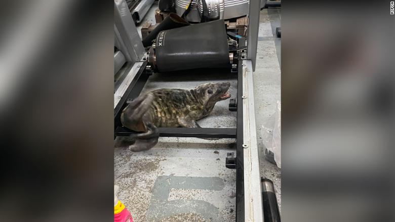 Help! There's a seal in my treadmill! The year's best animal rescue photos from the RSPCA