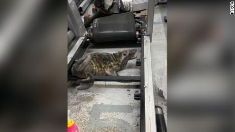 Workers at a gym equipment  warehouse were stunned to find a gray seal pup among the treadmills.