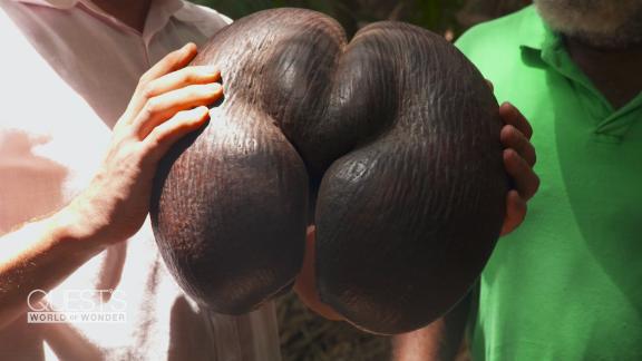 Seychelles coco de mer nut forbidden fruit suggestive shape Praslin Africa Richard Quest Pandemic spc_00051226.png