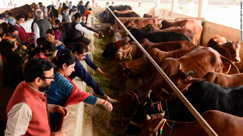 Cows are sacred in India. Critics say a new national exam politicizes the animal