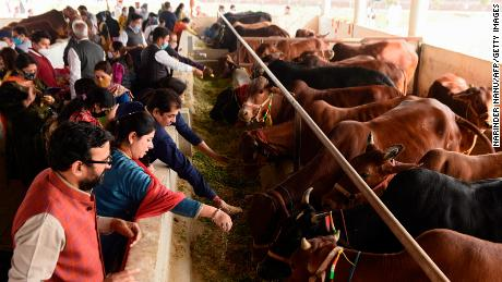 Hindu devotees from the International Society for Krishna Consciousness (ISKCON) worship cows on the outskirts of Amritsar on November 22, 2020.