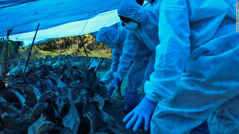 India begins mass bird cull in response to avian flu outbreak