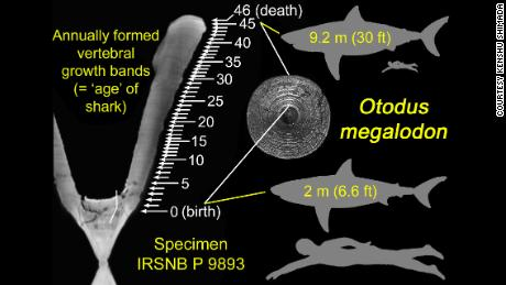 Researchers counted the number of growth bands on the megalodon's vertebrae for the study.
