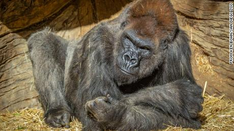 The gorillas were most likely infected by an asymptomatic staff member, the zoo said.