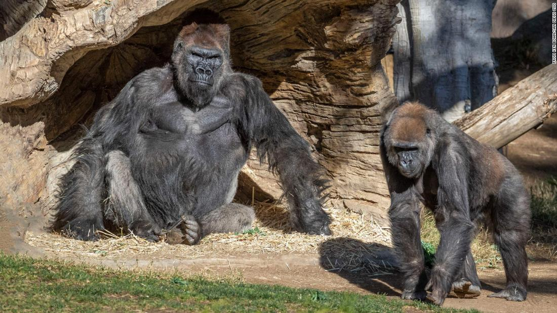At least two gorillas at San Diego Zoo tested positive for Covid-19,