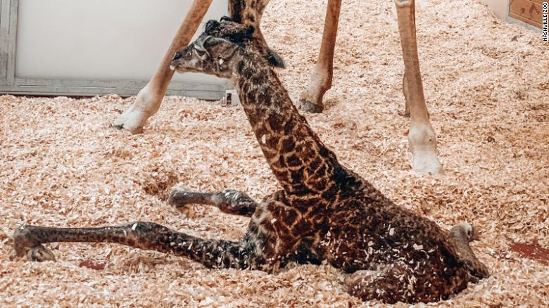 Baby giraffe dies at Nashville Zoo after being stepped on by mother