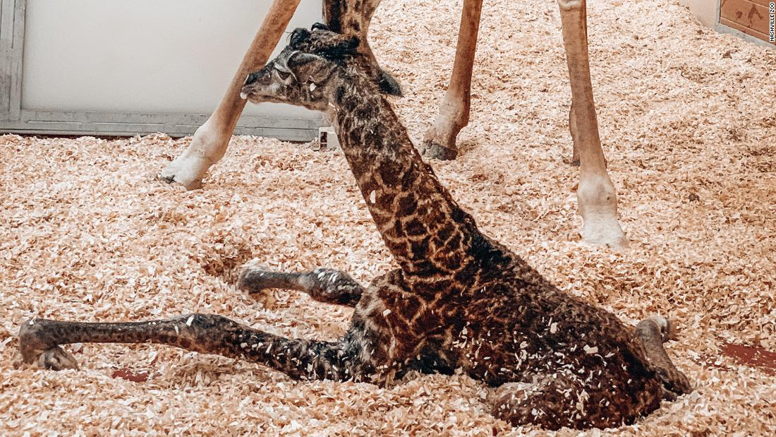 Baby giraffe dies at Nashville Zoo after being stepped on by mother - CNN