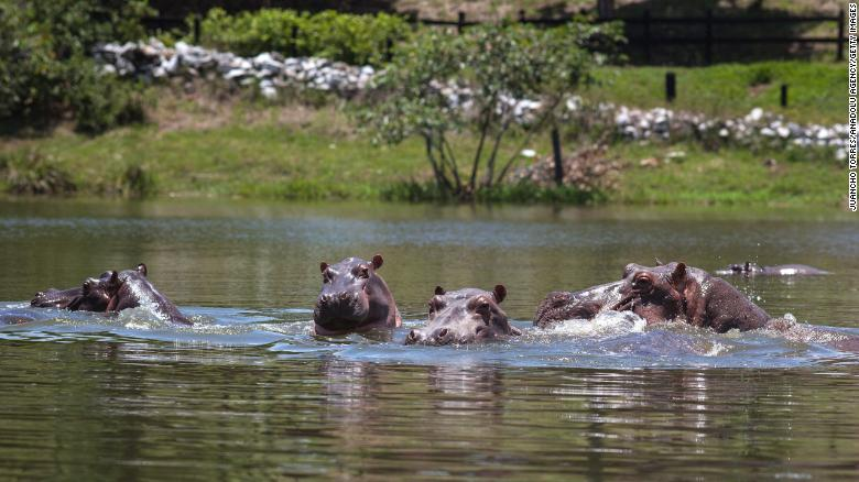 Colombia's 'cocaine hippos' must be culled, scientists say — but not everyone agrees