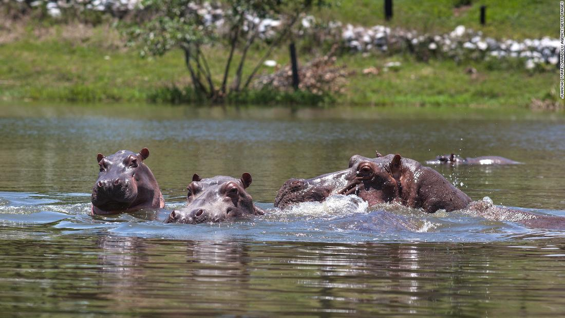 Colombia's 'cocaine hippos' should be culled, scientists say