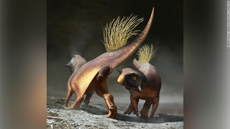 A reconstruction of Psittacosaurus illustrating how the cloacal vent may have been used for signaling during courtship.