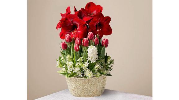 Blooming Love Amaryllis Bulb Garden