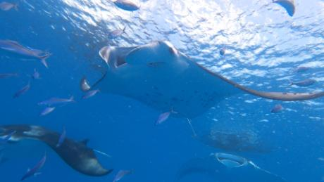 Swimming with manta rays could help save them