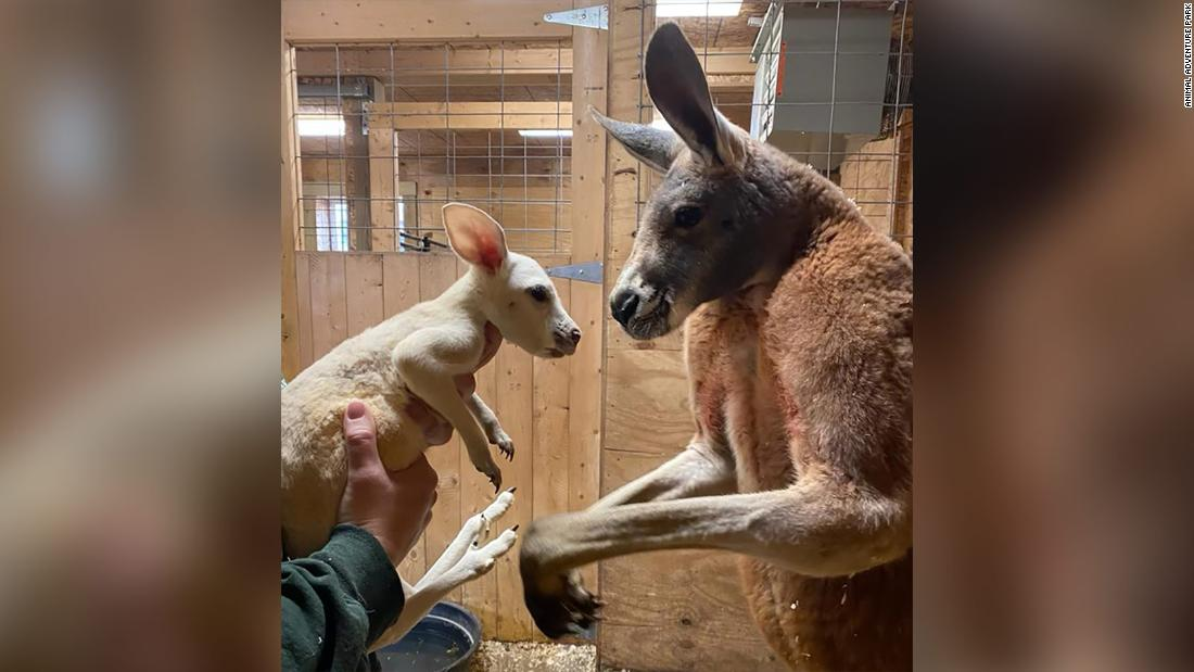 An extremely rare white kangaroo was born at a US zoo