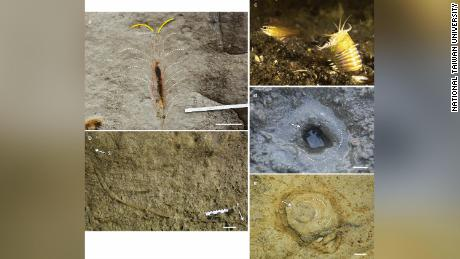 Pictured clockwise from top left: upper part of Pennichnus burrow; a bobbit worm (photo courtesy of Chutinun Mora); a bobbit worm burrow; plan view of upper part of Pennichnus burrow; vertical section of lower part of Pennichnus burrow.