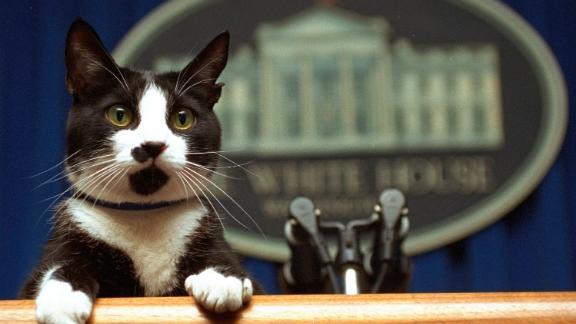 The Clinton family cat, Socks, peers over a podium in the White House briefing room in 1994.