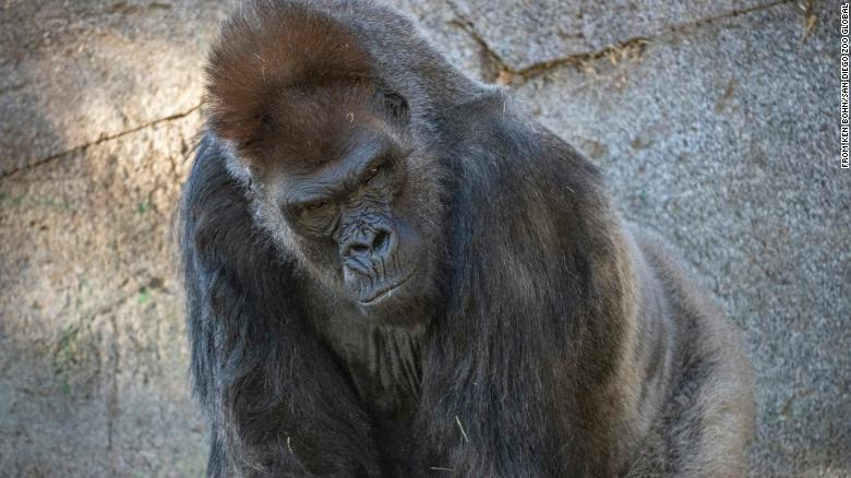 Gorilla at the San Diego Zoo gets monoclonal antibody therapy after being infected with Covid-19